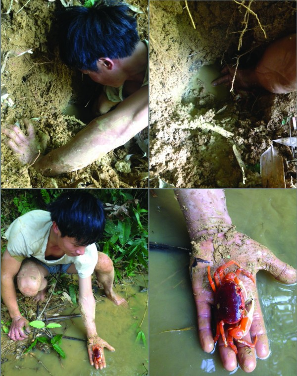 Collecting the Full Red Crab in Northern Vietnam