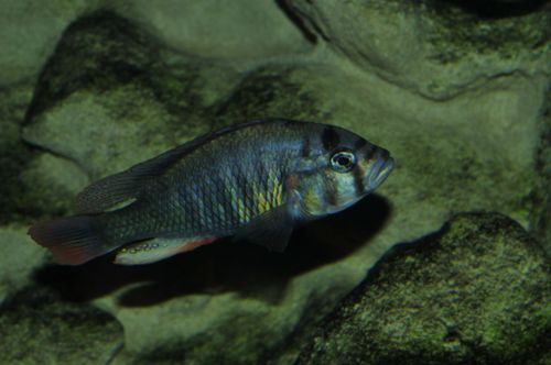 This unknown species of cichlid may be Haplochromis riponianus