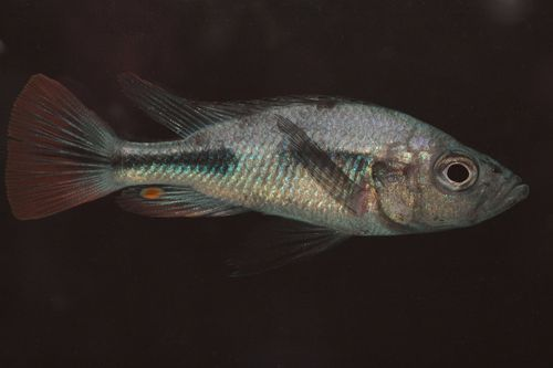 This Haplochromis piceatus is thought to be extinct in the Lake.