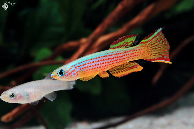 Female nipped fins