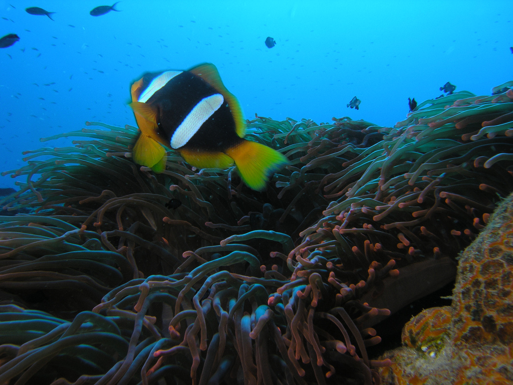 Amphiprion latifasciatus, the yellow-tailed variant, this one photographed at Mohéli, Comoros by Daryl Wallace (alKomar) | Wikimedia / Creative Commons