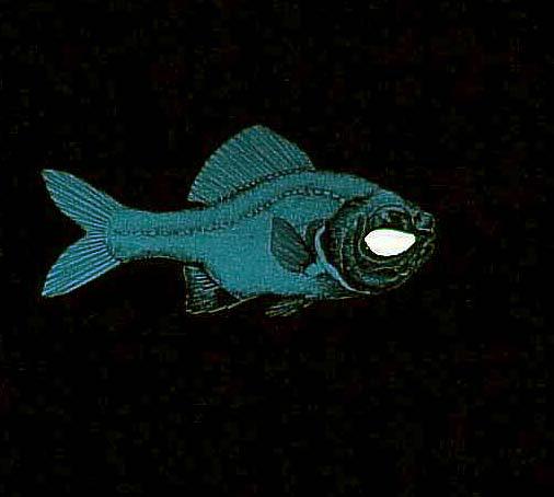 Photoblepharon palpebratus