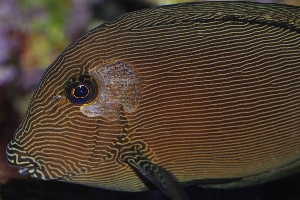 A chevron tang with HLLE on its left side only, right side was clear of symptoms