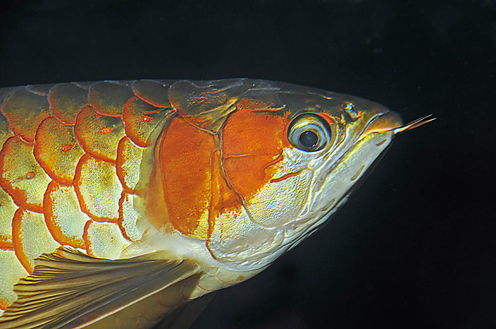A Red Asian arowana with a slight droop in its right eye.
