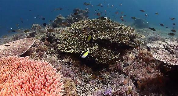 A pair of Moorish Idols (Zanclus cornutus) make a beautiful focal point as they glide over the coral reefs of Komodo National Park in this video by Kriss Sieniawski.