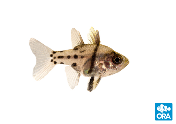 "ORA's latest ""species first"" - the Orbic Cardinalfish"