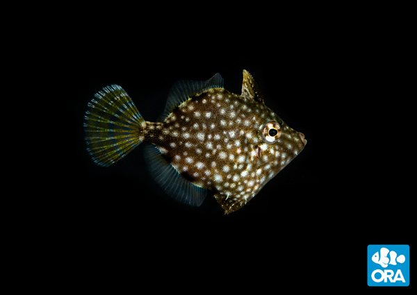 ORA's newest captive-bred introduction, the Whitespotted Pygmy Filefish