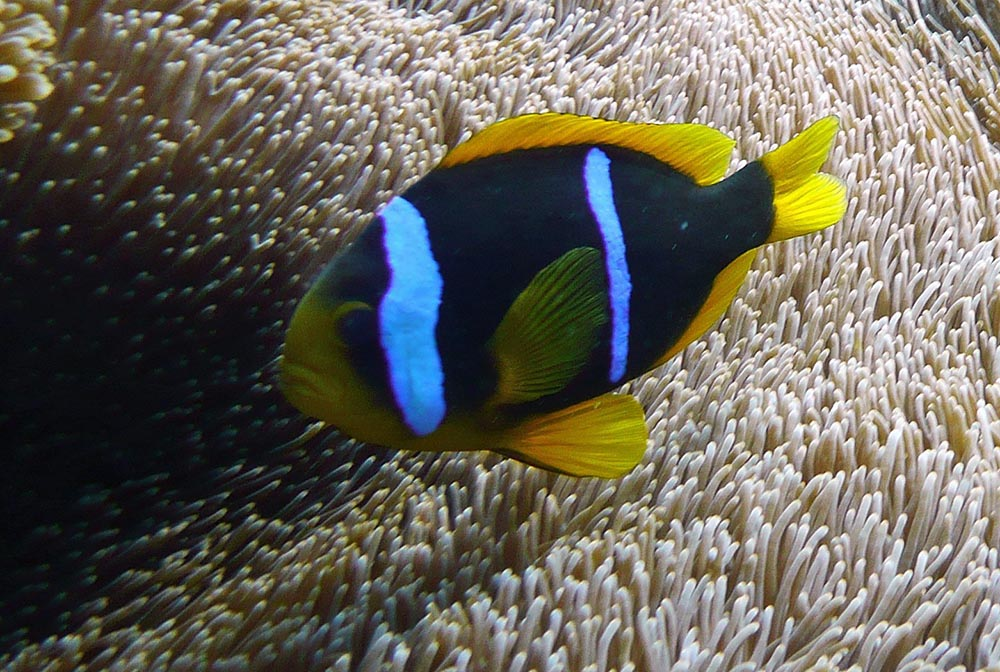 ... BONUS: The Challenging And Diverse Blue Stripe Clownfishes (Part 5