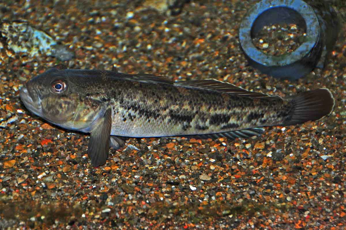 The Round Goby, Neogobius melanostomus.