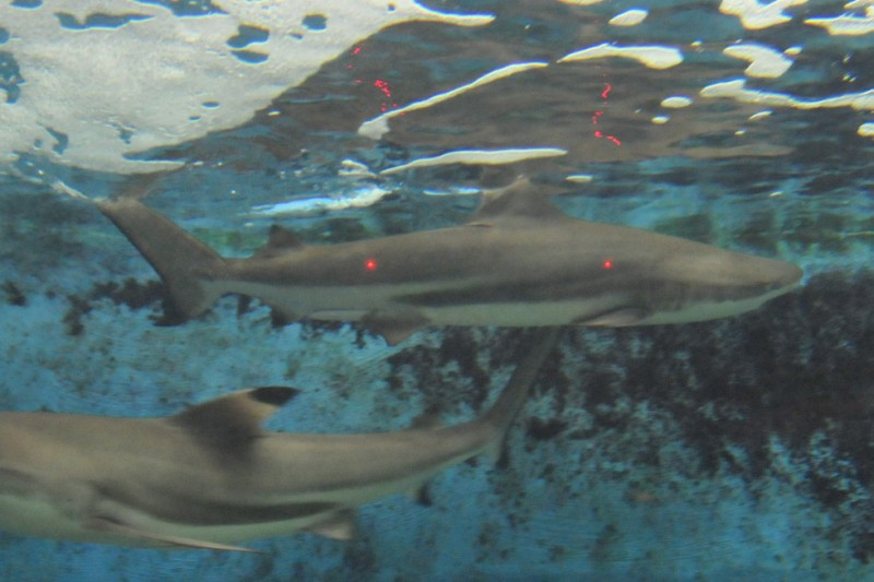 Not 50 inch as initially thought, this was determined to be a 39 inch Pacific Blacktip Reef Shark