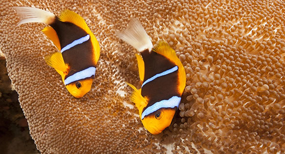 An Orangefinned Anemonefish (Amphiprion chrysopterus) pair on their anemone. Palau, Micronesia. Image Credit - Subblefied Photography | Shutterstock