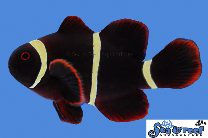 Young Gold Stripe Maroons take a year of growing before their yellow coloration appears - image courtesy Sea & Reef Aquaculture