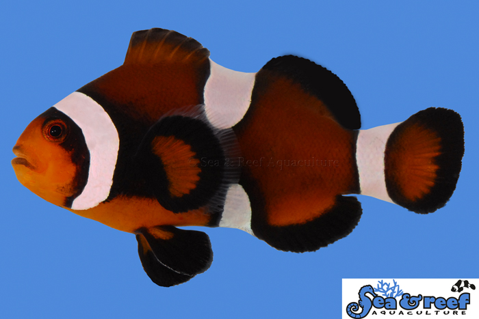 "MOCHA clownfishes are  the consistent hybrid phenotype of offspring resulting from matings between Orange Amphiprion ocellaris from the north, and the solid-black Amphiprion sp. ""Darwin"" from the south. Image courtesy Sea & Reef Aquaculture"