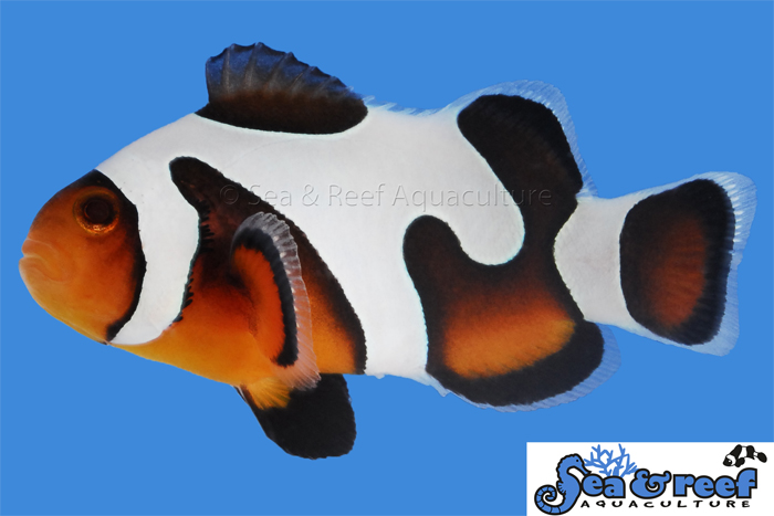 Sea & Reef's MochaVinci Clownfish