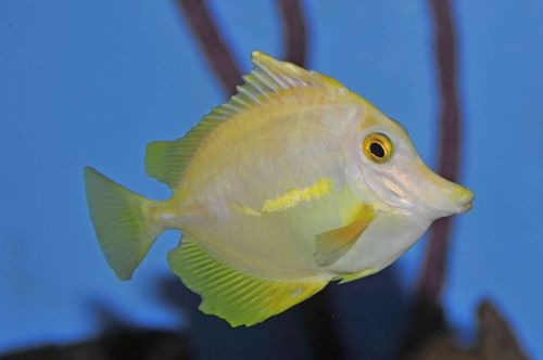 Yellow tangs frequently develop atypical symptoms of HLLE