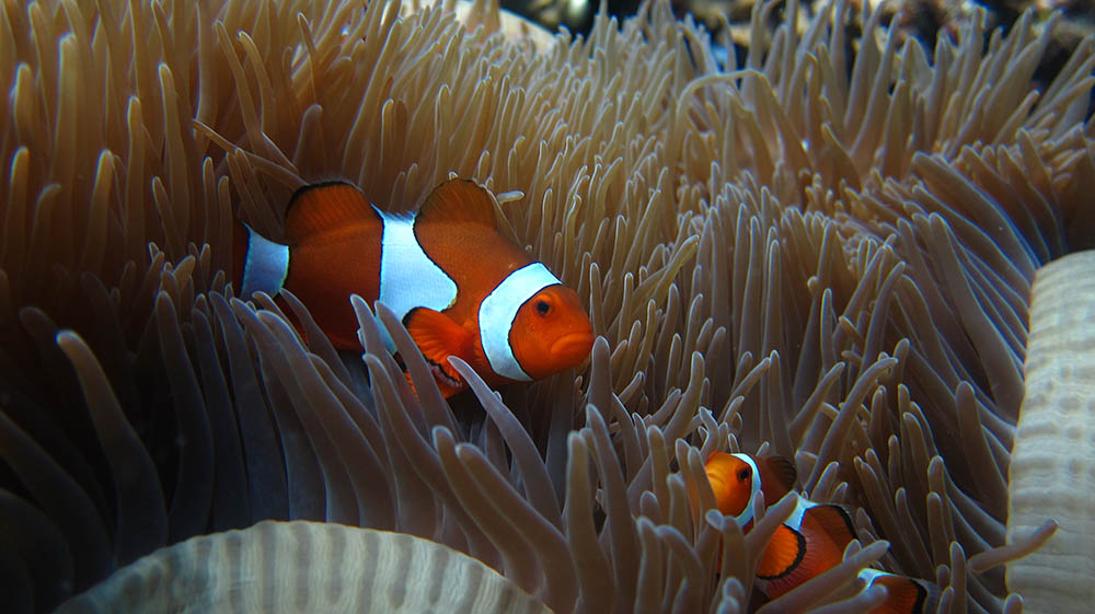 Amphiprion ocellaris in Bali, Indonesia, by jeff~ | Flickr | CC BY 2.0