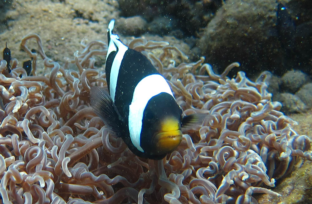 The Black Saddleback Clownfish, shown here in Bali, Indonesia, has a full mid stripe and a tail stripe (absent in the brown form). Image [croppped] by Flickr user  jeff~ | CC BY 2.0