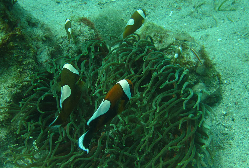 Another look at the typical Brown Saddleback clownfish, photographed here in Puerto Galera, Mimaropa, Philippines, by Andrew Smith | Flickr | CC BY-SA 2.0