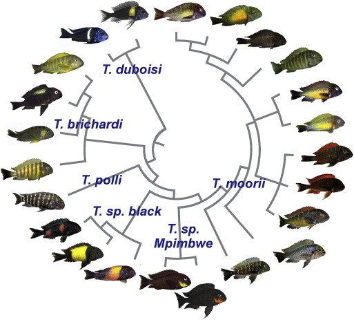 Geographic color variation in a cichlid fish. Phylogenetic relationships among selected examples of the rich variety of differently colored populations of the genus Tropheus ( Schupke, 2003 and Konings, 2013) reveal differentiation in body and fin coloration between close relatives as well as repeated evolution of similar colors. The taxonomy of the genus is not fully resolved; nominal and suggested species supported by genetic data and assortative mating are indicated. The population tree is based on data from Egger et al. (2007) and Koblmüller et al. (2011). Photographs: Ad Konings (T. sp. Mpimbwe), Wolfgang Gessl and Peter Berger. Flickr | CC BY 2.0