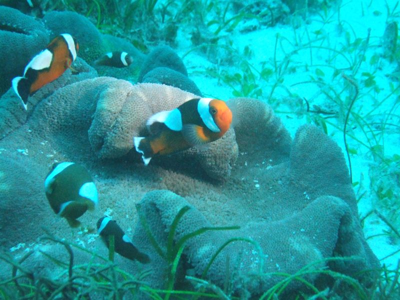 Typical Brown Saddleback Clownfish, photographed in Cebu, Philippines, by Flickr user Shinji | CC-BY-2.0