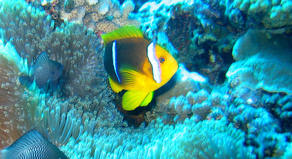 A. chrysopterus in Tahiti, where bars are extremely narrow and often don't connect on the headstripe in mature fish. Image cropped from original - by Manoel Lemos | Flickr | CC BY 2.0
