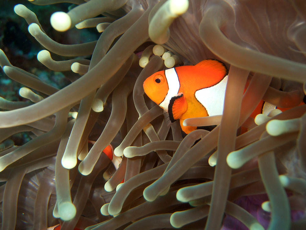 Amphiprion ocellaris, phtoographed at Moalboal, Cebu, Philippines, by Per Edin | Flickr | CC BY 2.0