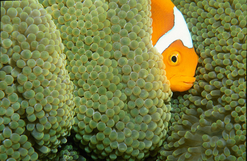 A stunning example of A. x leucokranos, illustrating why the hybrid has earned the trade name White-Bonnet or White Cap Clownfish. Image taken in Walindi, Papua New Guinea, by Michael McComb | Flickr | CC BY 2.0