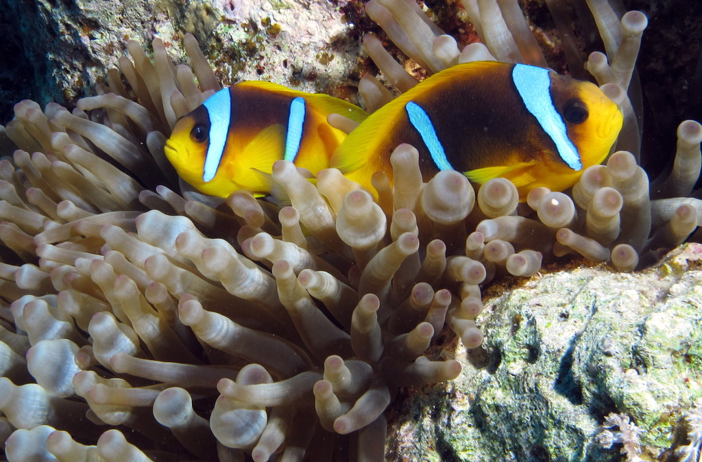 Red Sea Anemonefish, Amphiprion bicinctus, in its host anemone at Gota Abu Ramada, Red Sea, Egypt - image by Derek Keats | CC-BY-2.0