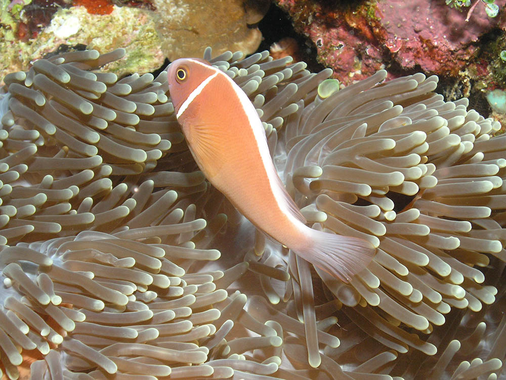 The Pink Skunk Anemonefish, shown here at Bunaken Island, Indonesia. Image by Flickr user Rob | www.bbmexplorer.com | CC BY-SA 2.0