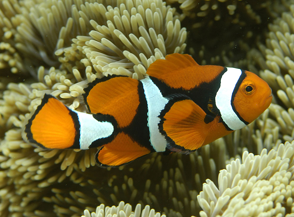 Amphiprion percula with a fair amount of black on the flanks, photographed in Cenderawasih Bay, West Papua, Indonesia, by ARC Centre of Excellence for Coral Reef Studies | Flickr | CC BY 2.0