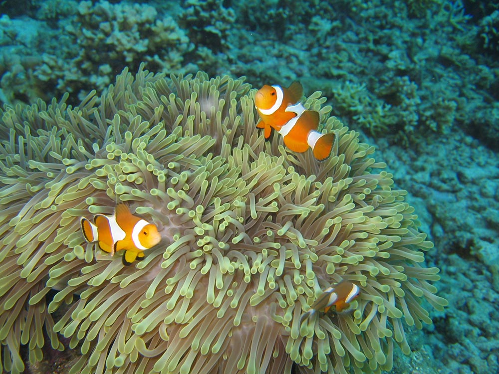 Even further west, now in the Indian Ocean, Amphiprion ocellaris remains unchanged. Image by Sharron Gray | Flickr | CC BY-ND 2.0