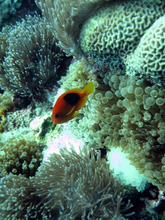 The Red Saddleback, or Fire Clownfish, A. ephippium, here in the wild at Thai Mueang, Phangnga, Thailand. Image by Flickr user hasteyr | CC BY 2.0