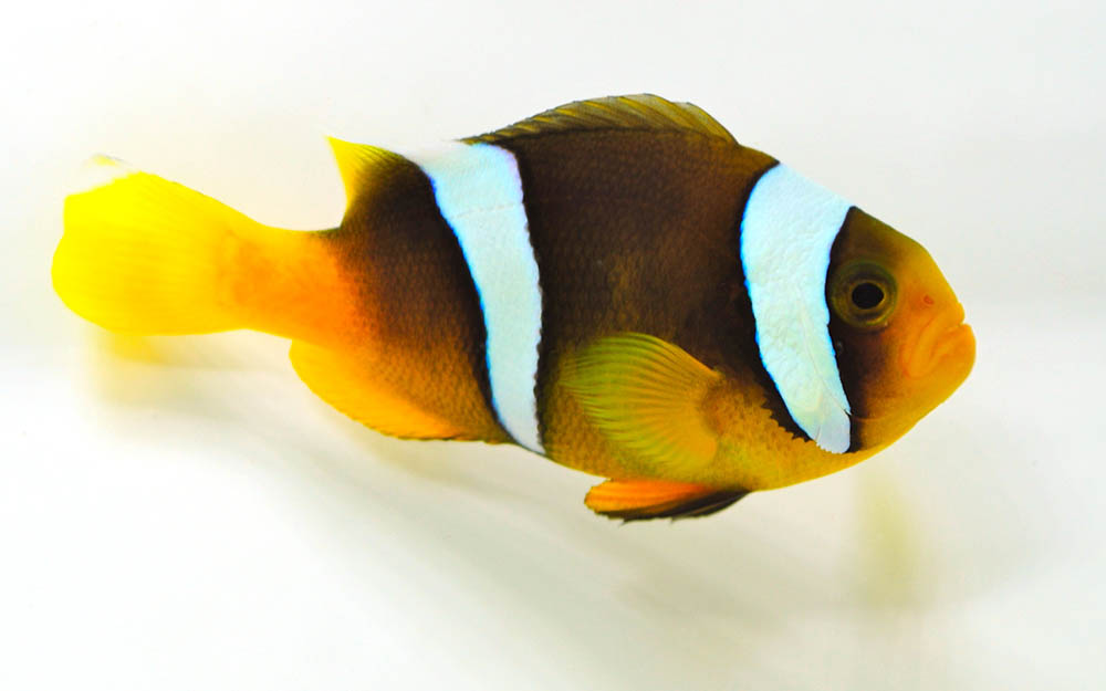 Captive bred true Amphiprion sebae are becoming more widely available. This one from Sustainable Aquatics.