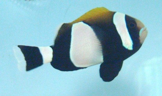 Fully-barred Amphiprion latezonatus are a truly singular beauty, showing off their namesake markings, including Blue Lipped, and Wide-Band Clownfish. Image by Sustainable Aquatics.