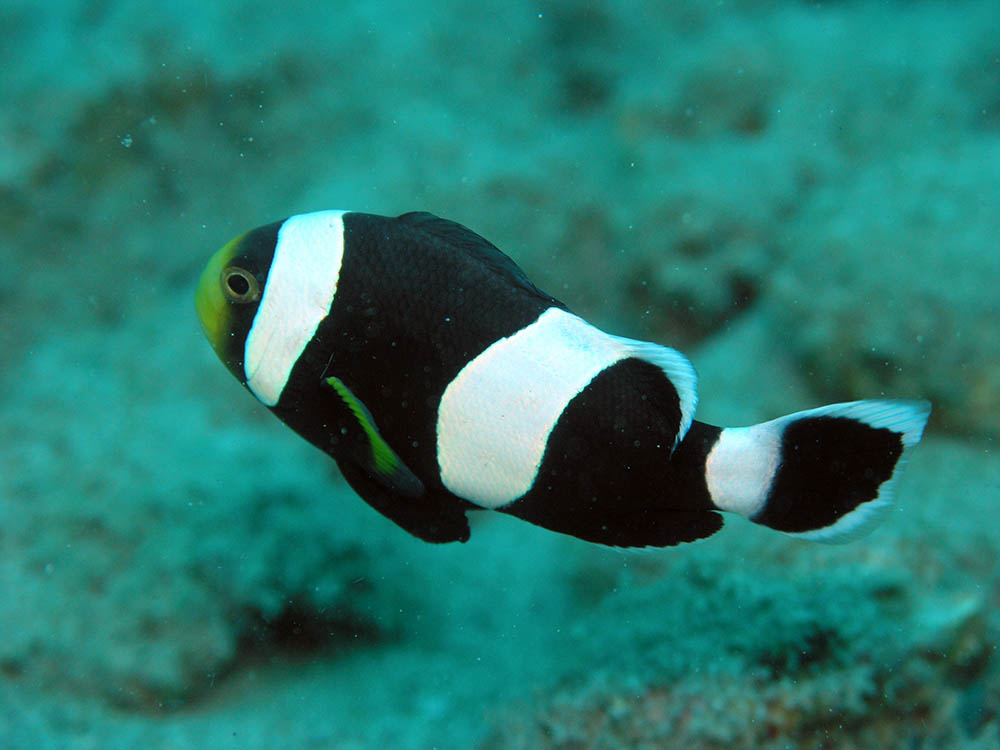 The Black Saddleback Anemonefish, shown here at Tasik Ria House reef, North Sulawesi, Indonesia. Image by Jens Petersen | Wikimedia | CC BY-SA 3.0