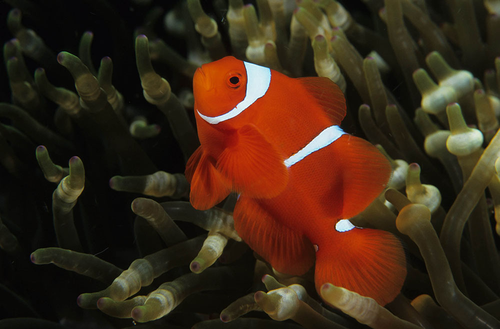 An example of the typical White Stripe Maroon Clownfish from PNG. As juveniles, this fish would be indistinguishable from their Indonesia / Philippine counterparts, and even at maturity it might be difficult to impossible to know where the fish was from just by looking. Image by Barry Peters | Wikimedia | Creative Commons CC BY 2.0