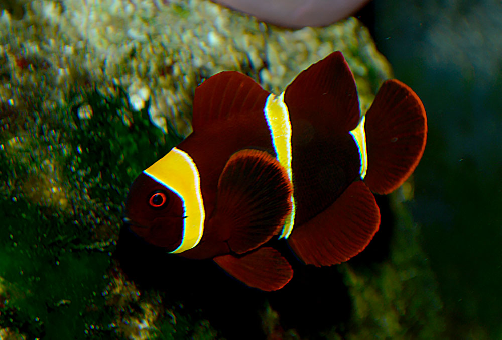 The male counterpart to the female Gold Stripe Maroon shown above. Note the strongly yellow and complete stripes, along with the vibrant color. This fish is perhaps 25% the size of its mate. Image by Matt Pedersen