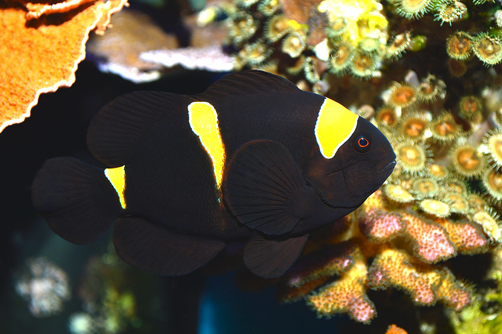 A mature female Gold Stripe Maroon Clownfish - image by Matt Pedersen
