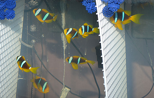 "Several examples of medium-to-large sized Amphiprion chrysopterus ""Fiji""; most did not have as pronounce tail extensions as my experimental fish, seen here on the right side of the divider."