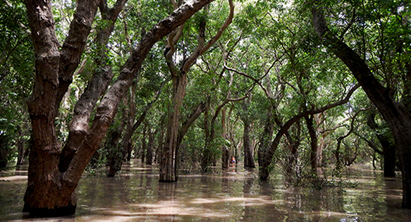 Flooded Forest on the edge of the Tonle Sap Lake