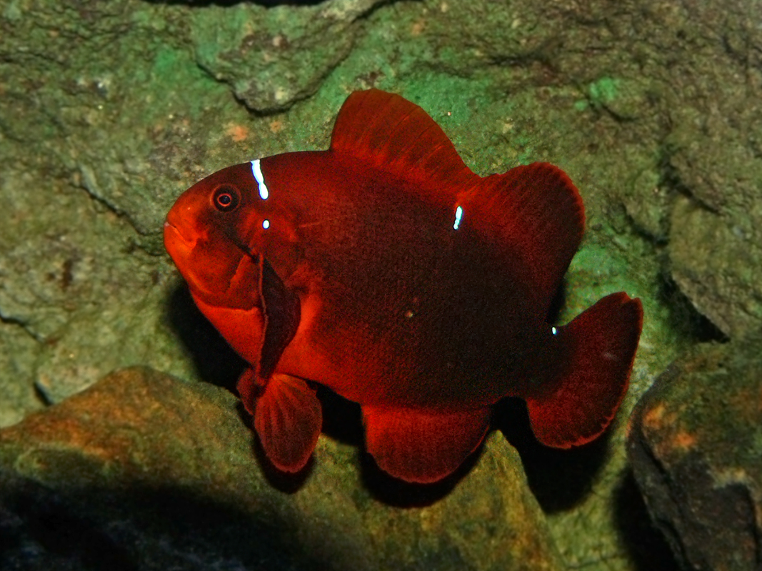 This large Maroon Clownfish of unknown origin demonstrates the ability of Maroons to lose their stripes as they age. Benjamint444 on Wikimedia | CC BY-SA 3.0