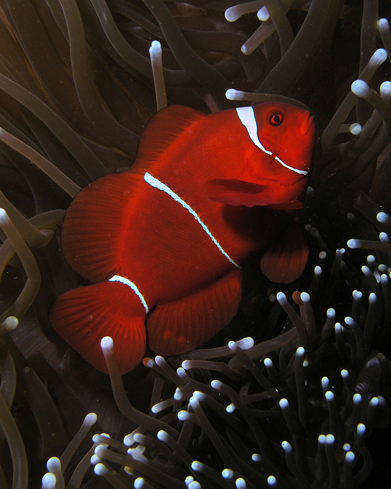 "This mature wild P. biaculeatus female was photographed in East Timor. Whether it is an example of an Indonesian-group female that did not develop a gold head stripe, or in fact is part of the next group of White Stripe Maroon Anemonefish, is currently an unanswered question. Determining ranges is an ongoing project; It is a better ""fit"" with the next group. Image by <a href=""http://commons.wikimedia.org/wiki/File:Premnas_biaculeatus_(Maroon_or_spinecheek_anemonefish).jpg"" target=""_blank"">Nhobgood 