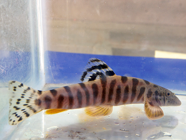 Cloud Leopard Loach (V. crassicauda)