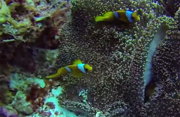 Screencapture from Jason Zarudny's Diego Garcia video below, showing the endemic Amphiprion chagosensis.