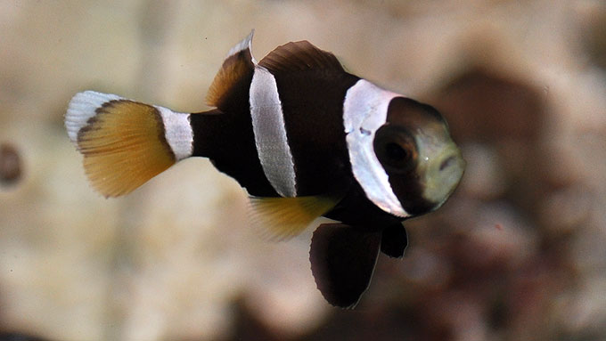 A captive bred F1 juvenile Amphiprion latezonatus, reared by Karen Brittain in Hawaii. Image by Matt Pedersen