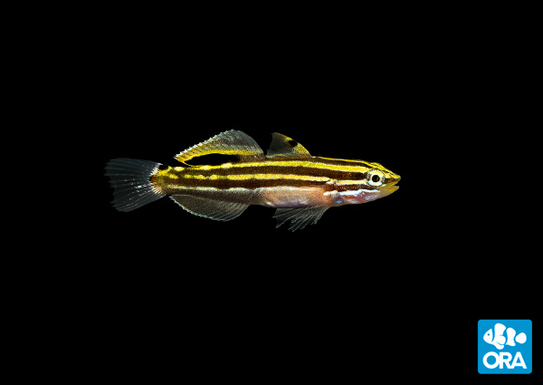 ORA announces success with the popular Hector's Goby (Koumansetta hectori).