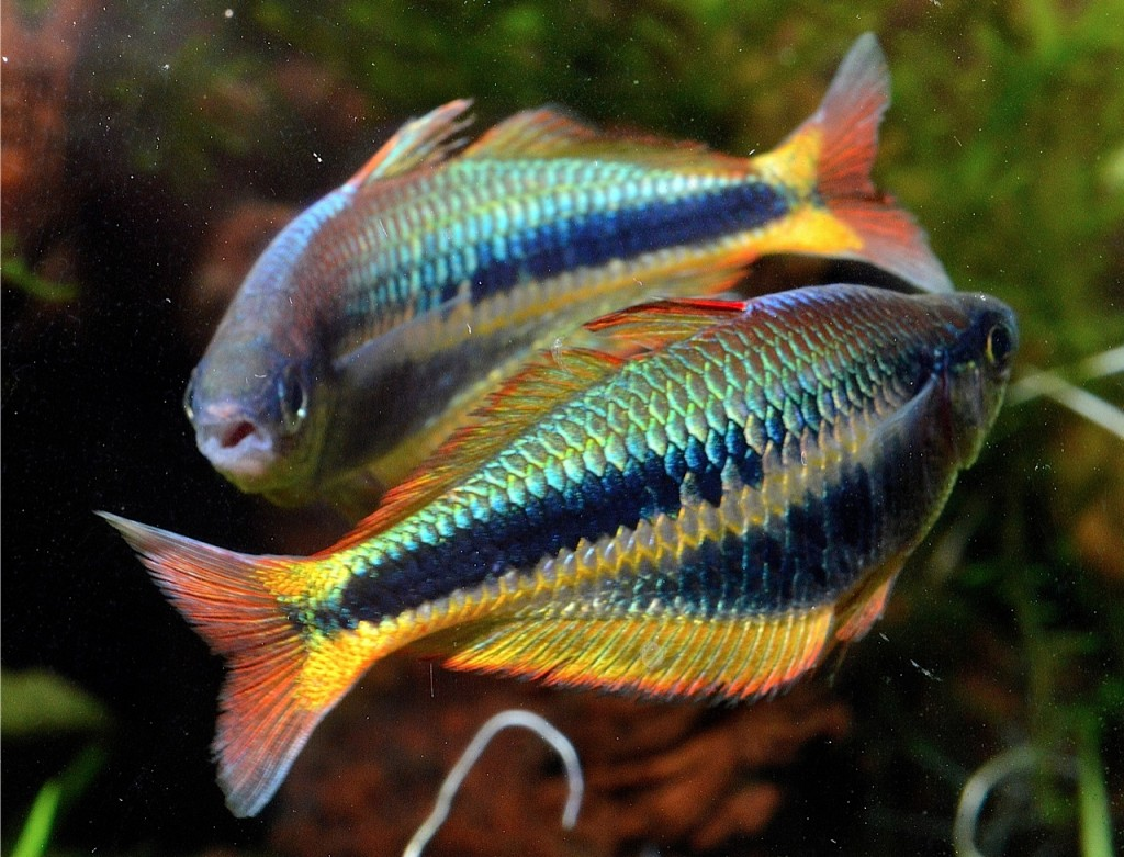 "Chilatherina alleni ""Wapoga"" males circle each other.  Though most of the combat is ritualistic in nature, fins do get torn and the fish exert a lot of energy.  They fly through the aquarium and top speed all morning."