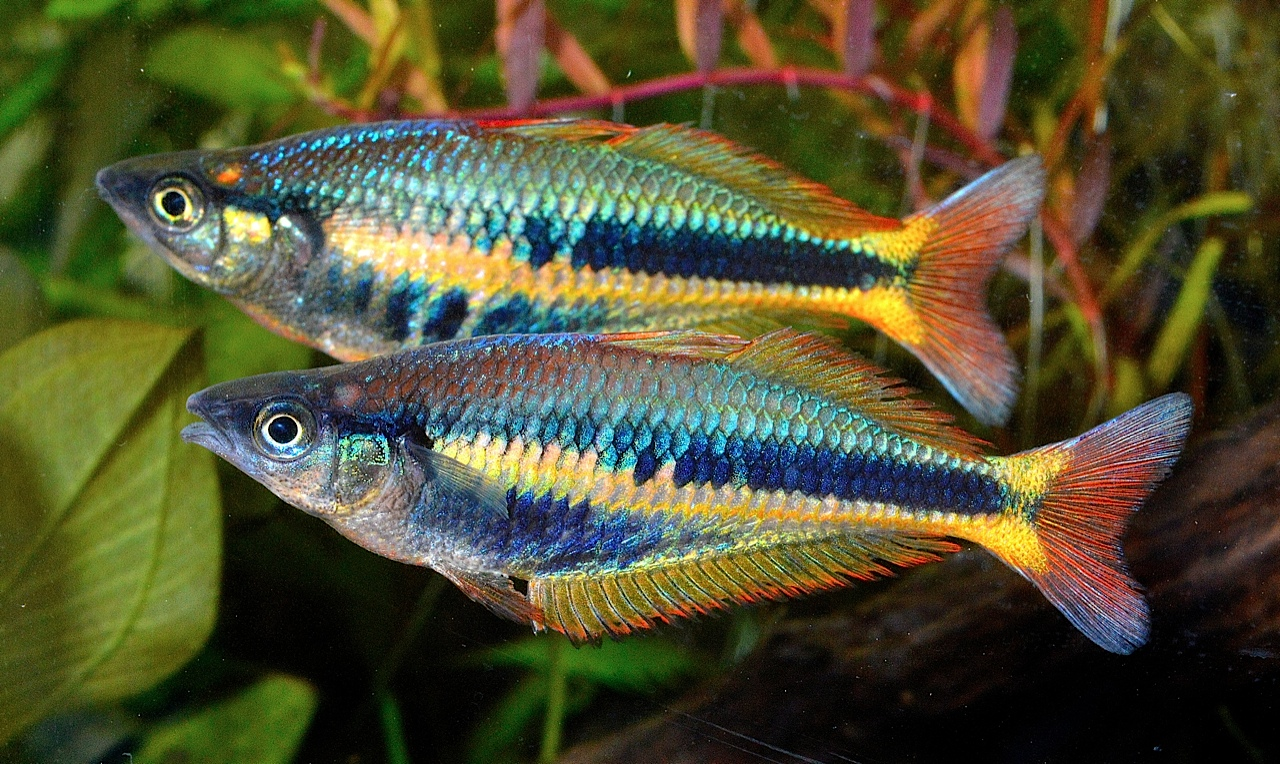 Rainbowfish extra chilatherina alleni wapoga with gary for The rainbow fish