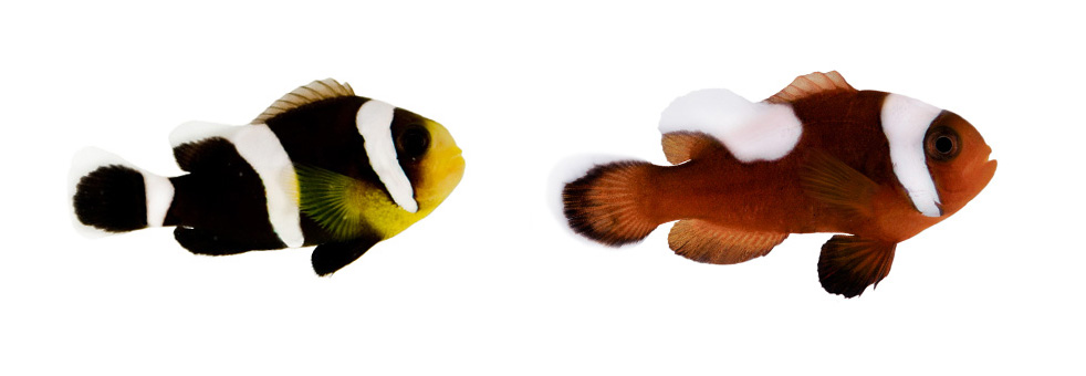 "ORA has taken the initiative to produce not only the commonly seen brown form of Saddleback Clownfish (A. polymnus) but also the Black Form (left), most often cited as hailing from Cebu; this Black form of Saddleback has been exported from the Philippines as ""Black Percula"" for years, and continues to this day. Images by ORA"