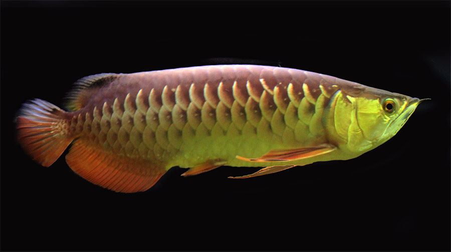 Scleropages formosus, the Asian Arowana, is listed under the ESA as endangered and is the species at the center of charges announced today in San Jose, CA. Image by Flickr user Aneo | CC BY 2.0